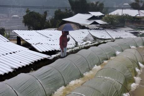 Tuyết rơi bất thường gây thiệt hại nặng cho nông dân Yên Bái