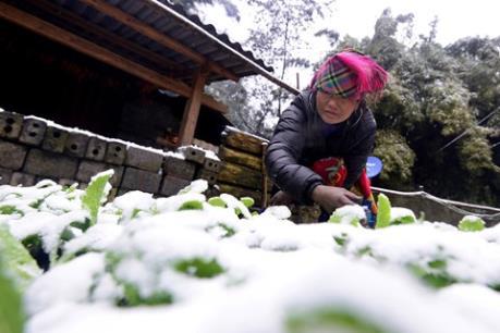 Lào Cai thiệt hại trên 5 tỷ đồng do mưa tuyết