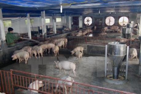 Sử dụng chất cấm trong chăn nuôi có thể tăng trong dịp Tết