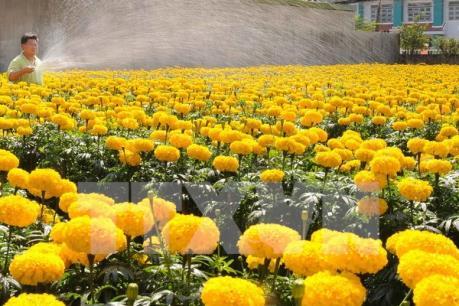 Làng hoa Sa Đéc hút khách tham quan dịp Tết