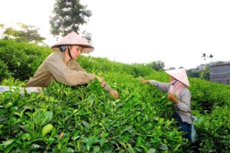 Chè Thái Nguyên được mùa, giá ổn định