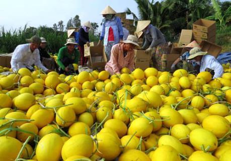 Cung cấp hơn 3.000 tấn dưa lê Lai Vung phục vụ Tết