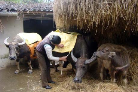 Cách phòng tránh rét cho người và gia súc