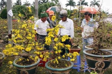Mất mùa, hoa mai Tết tăng giá gấp từ 3-4 lần