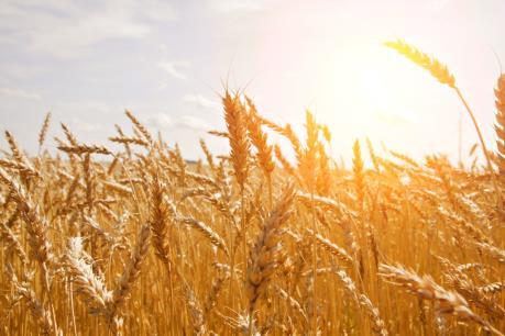 """Ai Cập thắt chặt quy định nhập khẩu: Thị trường lúa mỳ """"lúng túng"""""""
