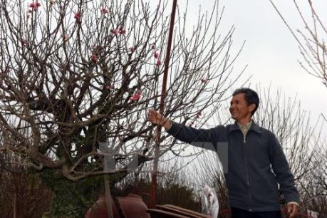 Thắm sắc đào Nhật Tân đón Tết: Bài 1 - Xây dựng thương hiệu đào Nhật Tân