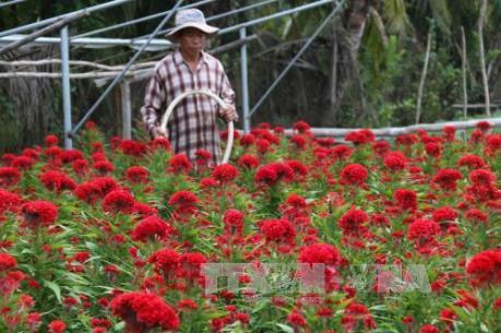 Hoa kiểng tết - thế mạnh nông nghiệp vùng ven thành phố Mỹ Tho