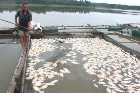 Cá chết hàng loạt ở An Giang vì đâu?
