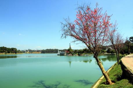 Người kỹ sư gốc Việt ước mơ phủ sắc anh đào bên Hồ Xuân Hương