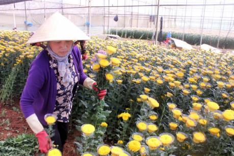 Hoa cúc Đà Lạt tăng giá