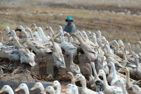 Cà Mau cảnh báo nguy cơ tái bùng phát dịch H5N1