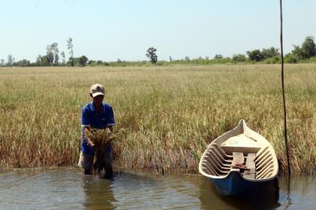 Hơn 11.000 ha lúa bị thiệt hại do hạn mặn ở Sóc Trăng