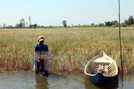 Trên 6.000 ha lúa bị thiệt hại do hạn, mặn ở Bạc Liêu