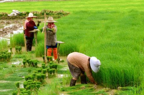 Thái Lan áp mức trần sản xuất gạo 26 triệu tấn năm 2016