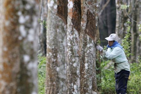 Indonesia giảm xuất khẩu cao su tự nhiên