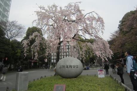 Lễ hội hoa anh đào - Một nét đẹp văn hóa của người Nhật