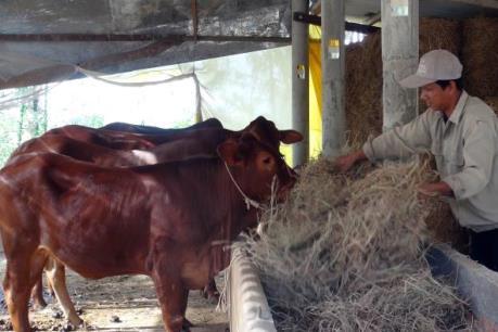 """Lúa chết vì hạn mặn, nông dân phải """"lấy tiền bán bò mua rơm cho bò ăn"""""""