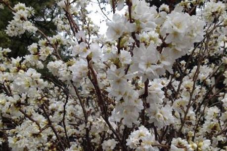 Hoa anh đào Nhật Bản tỏa sắc giữa lòng thủ đô