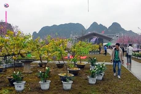 Khai mạc lễ hội hoa Anh đào - Mai vàng Yên Tử, Hạ Long 2016
