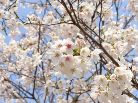 Người dân Thủ đô nô nức ngắm hoa anh đào