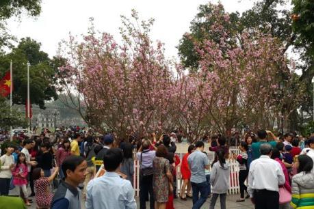 Kéo dài thêm một ngày trưng bày hoa anh đào tại Hà Nội