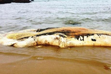 Xác cá voi nặng khoảng 5 tấn trôi dạt vào bờ biển Quảng Bình
