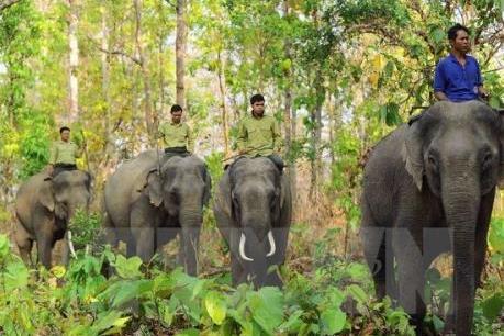 Hành động khẩn cấp bảo tồn Voi rừng Yok Don