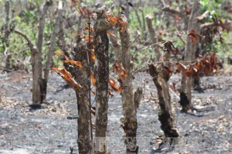 Người dân Nam Trung bộ lao đao vì khô hạn - Bài 1: Suy kiệt vì nắng hạn
