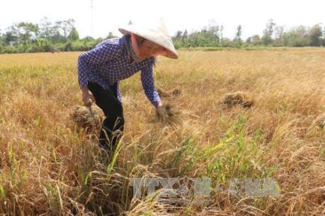 Biến đổi khí hậu: Khoảng 6.000 ha lúa Hè Thu ở khu vực phía Nam bị thiệt hại