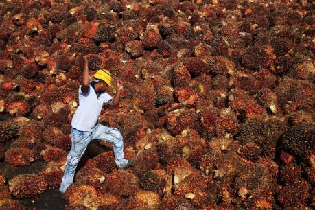 Giá dầu cọ Malaysia có khả năng tăng giá do sản lượng sụt giảm