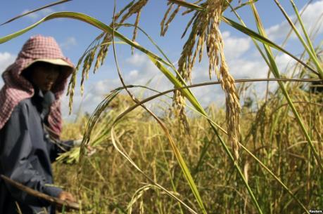 Sản lượng thóc lúa mùa khô của Campuchia giảm nhẹ do hạn hán