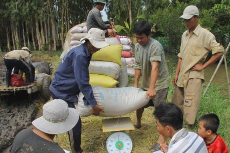 Nông dân Hậu Giang mất tiền tỷ vì lấy tiền đặt cọc lúa trước
