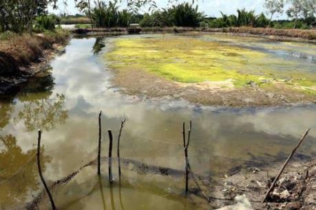 Tìm giải pháp ứng phó với dịch bệnh ở tôm nước lợ do xâm nhập mặn