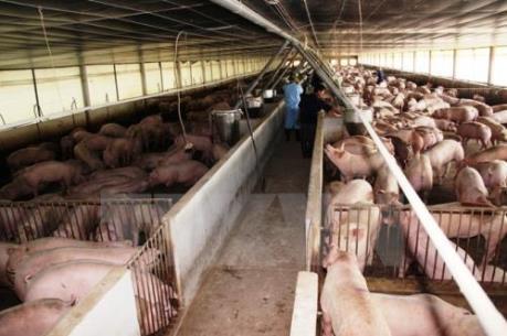 Công khai vi phạm sử dụng chất cấm trong chăn nuôi