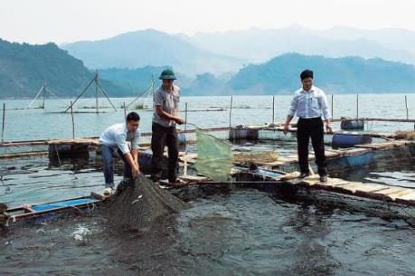 Thành công từ mô hình nuôi cá chiêm vây vàng lồng bè trên biển