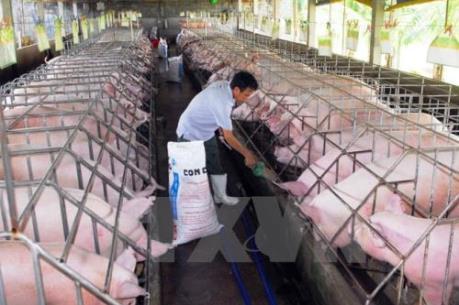 Cảnh báo tình trạng chăn nuôi lợn ồ ạt