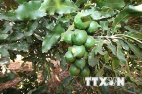 Thủ tướng chỉ đạo đánh giá hiệu quả sản xuất của cây mắc ca