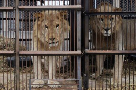 Giải cứu 33 con sư tử bị ngược đãi ở các rạp xiếc Nam Mỹ
