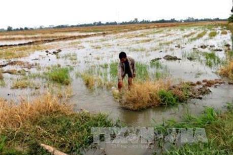 Trên 30.000 ha đất sản xuất nông nghiệp ở Cà Mau bị xâm nhập mặn
