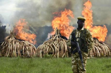 Kenya tiêu hủy hơn 100 tấn ngà voi và sừng tê giác