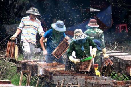 Hoa Nhãn nở, làng nuôi ong nhộn nhịp vào vụ