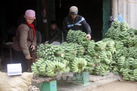 Chuối xuất khẩu của Việt Nam gia nhập thị trường Nhật Bản