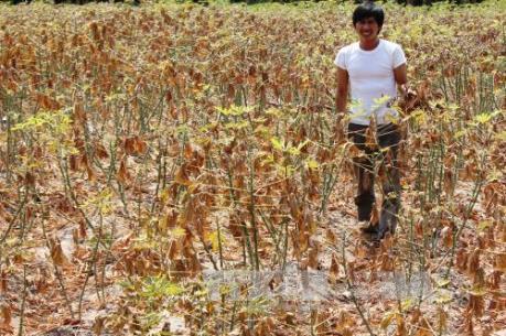 Nhật Bản hỗ trợ Việt Nam quản lý sâu bệnh hại trên cây sắn