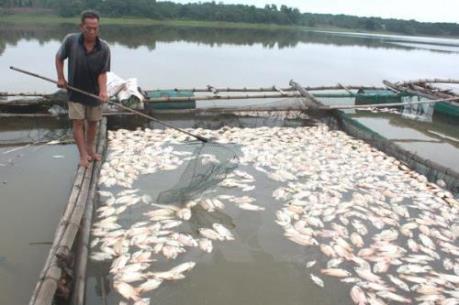 Đã xác định được nguyên nhân cá nuôi chết tại đảo Phú Quý