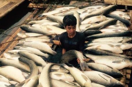 Cá chết trên sông Bưởi: Mía đường Hòa Bình đền bù hơn 1,4 tỷ đồng cho dân