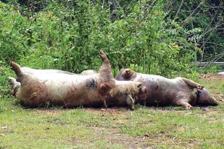 Kinh hoàng phát hiện gần chục điểm vứt lợn chết tại Cao Bằng