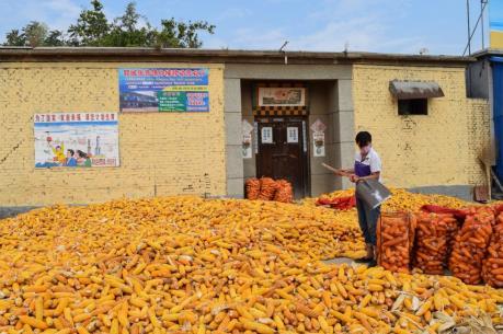 Trung Quốc: Sản lượng ngô dự kiến giảm 2,9%