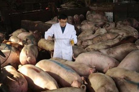 Lợn nhiễm chất cấm tuồn vào lò mổ ở Bình Dương