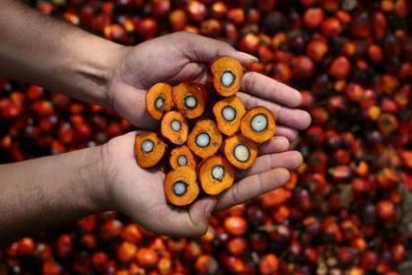 Sản lượng dầu cọ của Đông Nam Á có nguy cơ sụt giảm do El Nino