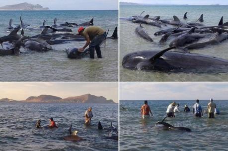 Nguyên nhân hàng chục con cá voi chết tại bờ biển Mexico